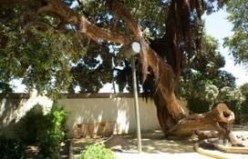 Colocan un soporte en el centenario metrosidero del Parque Genovés - Diario Bahía de Cádiz | Arboricultura General | Scoop.it