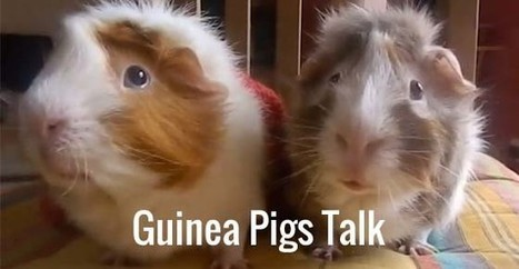 Happy Thanksgiving: Watch These Guinea Pigs Talk - Socks On An Octopus | SOAO Funny and Unusual | Scoop.it