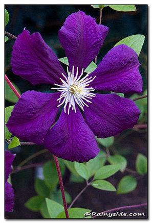 Clematis 'Blue Belle' — Rainyside.com   Annie Haven   Haven Brand   Scoop.it