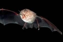 Murciélago guarda virus parecido a hepatitis C   Era del conocimiento   Scoop.it