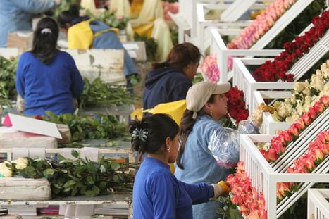 Les roses aussi peuvent être équitables | Pour une économie solidaire, équitable et durable | Scoop.it