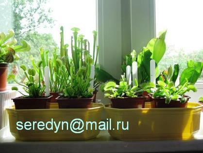 Комнатное цветоводство :: Просмотр темы - Dionaea muscipula (Венерина мухоловка) | Биология | Scoop.it