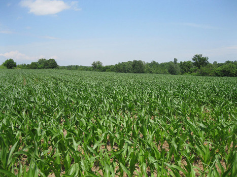 US: Research evaluates 'why' of exceptional corn yields | MAIZE | Scoop.it