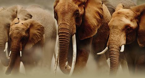 Les Etats refusent de renforcer la protection des éléphants d'Afrique | Chronique d'un pays où il ne se passe rien... ou presque ! | Scoop.it