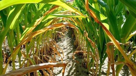 Les maïsiculteurs renforcent leur lobbying à Bruxelles | Questions de développement ... | Scoop.it
