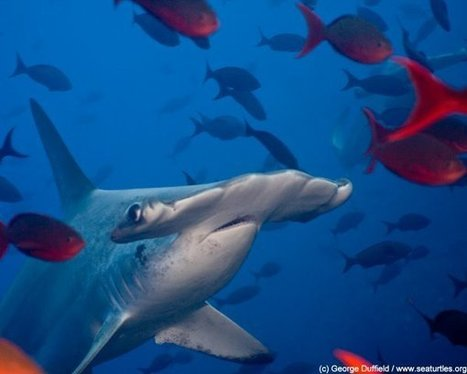 Dead or Alive: The Promise of Tourism For Shark Conservation - Travel Culture Magazine | Global Insights | Scoop.it