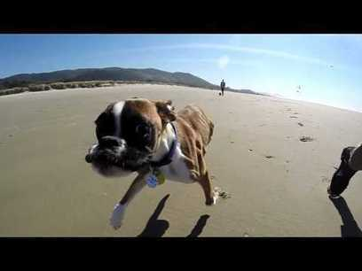 Two Legged Boxer Duncan Lou Who - First Trip to the Beach | War In The Ukrain | Scoop.it