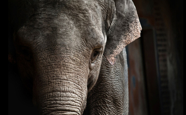 After 37 Years, Mila the Elephant Meets Another of Her Kind | Nature Animals humankind | Scoop.it