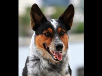Jumpy the 'Badass' Dog Flips, Jumps, and Skateboards | Dog Training - Mark Mendoza | Scoop.it