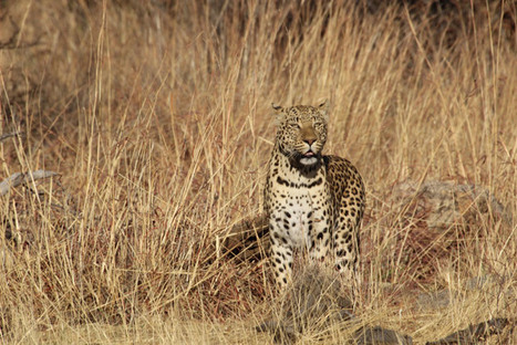 South Africa bans leopard trophy hunting for 2016   Trophy Hunting: It's Impact on Wildlife and People   Scoop.it