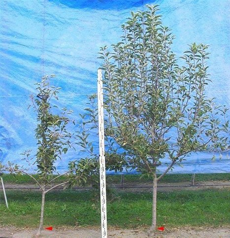 Two quantitative trait loci, Dw1 and Dw2, are primarily responsible for rootstock-induced dwarfing in apple | Plant Gene Seeker -PGS | Scoop.it