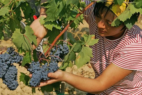 Vino: prima vendemmia in Trentino | La Voce del NordEst.it | Fondazione Mach | Scoop.it