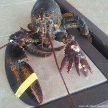 Scientist: Odd-looking Maine lobsters are not mutants, and still safe to eat - Bangor Daily News | Rockland and Maine coast | Scoop.it