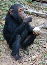 Eating fermented fruit off the ground: Origins of alcohol consumption traced to ape ancestor | alcholic beverages | Scoop.it