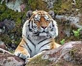Tiger killing show for Chinese rich and powerful: report   Sustain Our Earth   Scoop.it