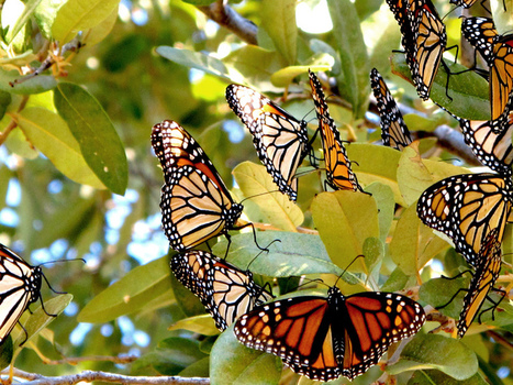 Extreme weather and GMO crops devastate monarch butterfly migration | Environmental Science | Scoop.it
