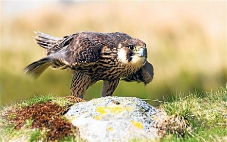 Peregrine falcons nesting on Vodafone mobile phone masts cause poor signal | Quite Interesting News | Scoop.it