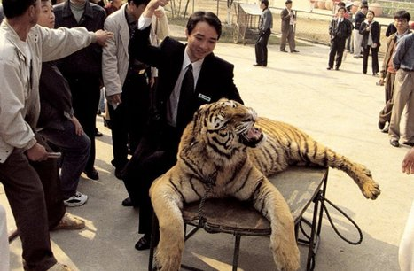 Tigers Are Being Drugged and Punched for Photos … How is This Allowed?! | Nature Animals humankind | Scoop.it