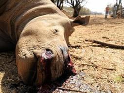 Rhino poaching toll rises | What's Happening to Africa's Rhino? | Scoop.it