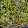 Les algues en Bretagne