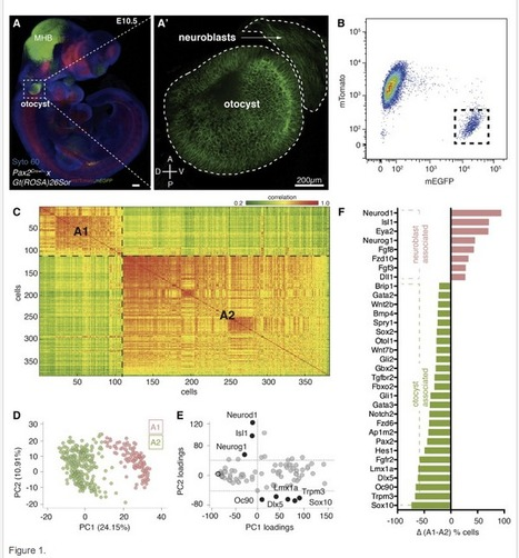 Reconstruction of the Mouse Otocyst and Early Neuroblast Lineage at Single-Cell Resolution | Single cell genomics and transcriptomics | Scoop.it
