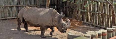 The last male northern white rhino must now be kept under armed guard 24/7 | What's Happening to Africa's Rhino? | Scoop.it