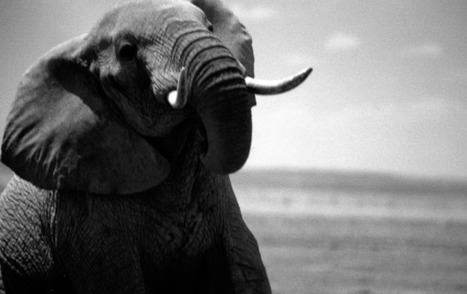 Saving the African Elephant | Wildlife Trafficking: Who Does it? Allows it? | Scoop.it