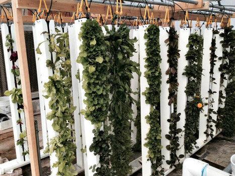 Big Week for Live Foods ... New Sites in LV & SF | Vertical Farm - Food Factory | Scoop.it
