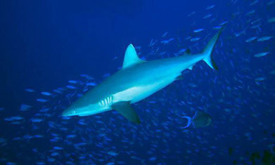 Coral reefs suffer as the relentless hunt for shark fins takes its toll | Heal the world | Scoop.it