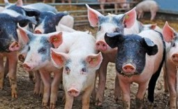 New Study Ties Higher Rate of MRSA Infections to Living Near Swine Operations - Food Safety News   Animal Science   Scoop.it