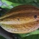 Farmers hint of decline in cocoa production | Ghanamma.com | Fair Trade Choco-locate | Scoop.it