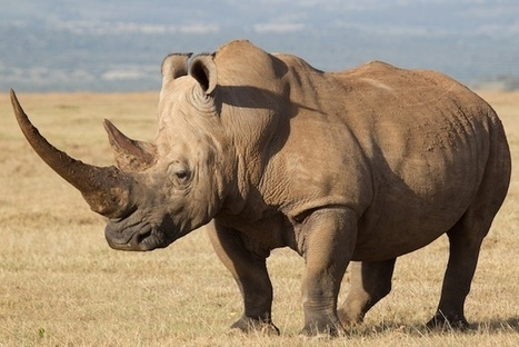Rhino Rescue: The Dream Team Saving the Animals Poachers Leave Behind | What's Happening to Africa's Rhino? | Scoop.it