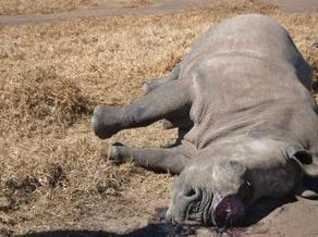 Les rhinocéros, plus menacés que jamais en Afrique du Sud | Nature & Civilization | Scoop.it