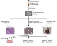 Researchers model disease-specific induced pluripotent stem cell for genetic ... - domain-B | Stem Cell Research, Regenerative Medicine, and Drug Discovery | Scoop.it