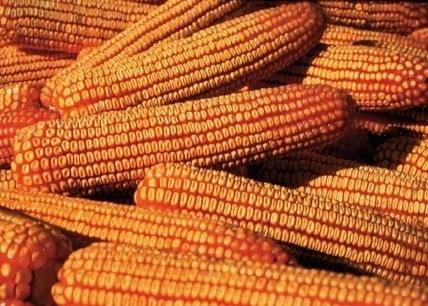Epigenetics Discovered in Corn Inheritance Behavior | MAIZE | Scoop.it