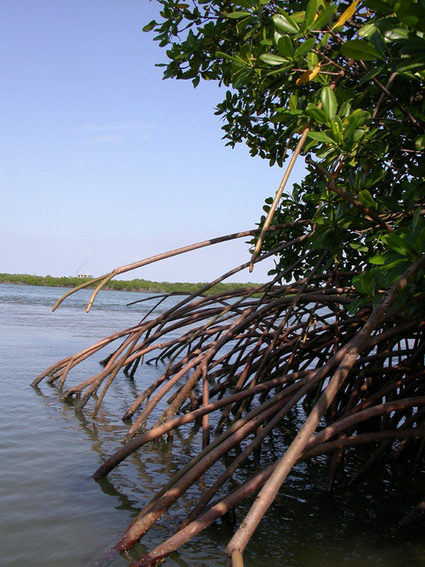 Mangrove Organisms | Mangrove Swamp | Scoop.it