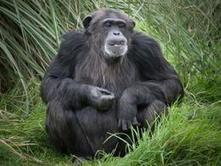 Chimpanzees empathise with human strangers | Empathy and Animals | Scoop.it