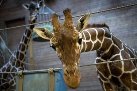 Opinion: Killing of Marius the Giraffe Exposes Myths About Zoos   zoos should not exist   Scoop.it