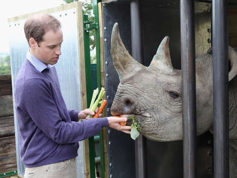Blind baby rhino saved where Will proposed to Kate | Radio Show Contents | Scoop.it