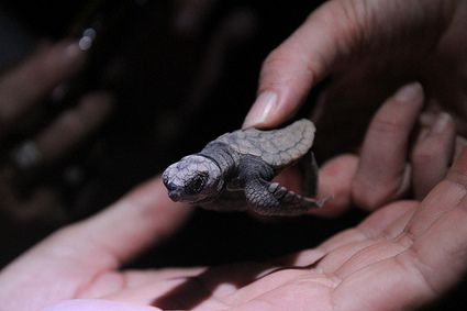 14 things you probably didn't know about turtles | All about water, the oceans, environmental issues | Scoop.it