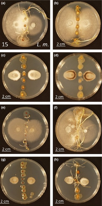 Simultaneous profiling of seed-associated bacteria and fungi reveals antagonistic interactions between microorganisms within a shared epiphytic microbiome on Triticum and Brassica seeds | Plant microbe interactions | Scoop.it