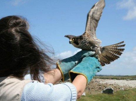Ergué-Gabéric.  Un faucon pèlerin victime d'un tir   Ces animaux sauvages ou domestiques maltraités par l'homme   Scoop.it