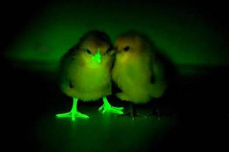 Glow-in-the-dark chickens are genetically engineered to fight bird flu | Environmental Sciences & Engineering | Scoop.it