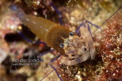 7 crevettes bio pour la photo sous-marine en Méditerranée - Le Blog de la Plongée Bio | Biologie marine | Scoop.it