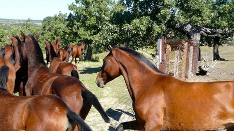 Rare Horses Released In Spain As Part Of 'Rewilding' Effort | Tips and hits | Scoop.it