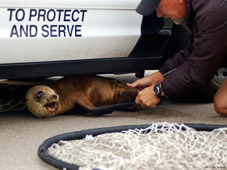 Environment News | Sea Lions Have Seizures Caused by Harmful Toxics | Scoop.it