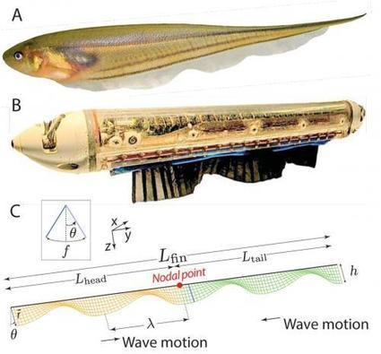 Scientists study 'fishy' behavior to solve an animal locomotion mystery (w/ Video) | Biomimicry | Scoop.it