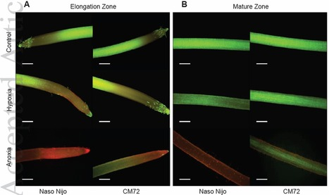 Linking oxygen availability with membrane potential maintenance and K+ retention of barley roots: implications for waterlogging stress tolerance | msnicolodi@yahoo.com.br | Scoop.it