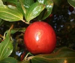 First report of HSVd in Jujube trees in China   Almanac Pests   Scoop.it