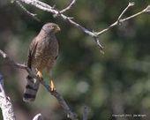 More Raptors of Belize: Roadside Hawk | Belize in Photos and Videos | Scoop.it